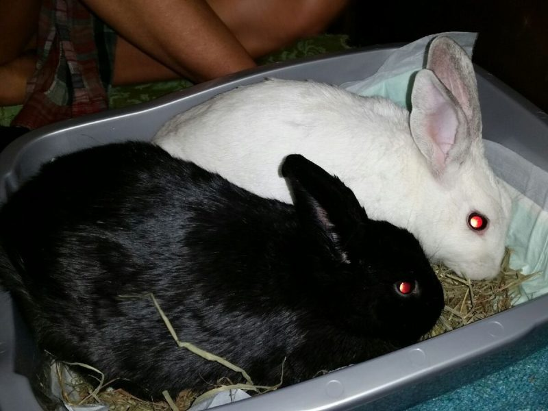 Roscoe & Layla (Sanctuary Bunnies/Sponsorship needed)