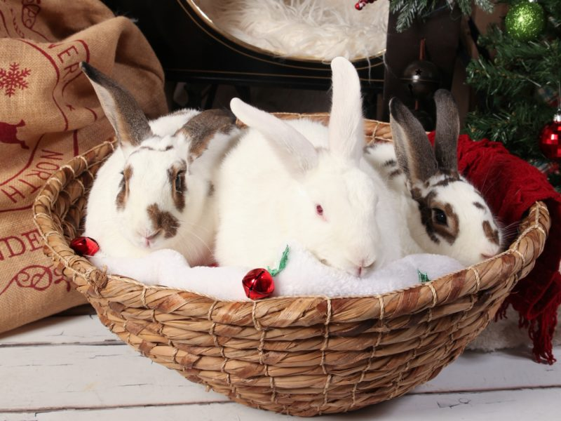 Christopher, CiCi and Cheyenne (Sanctuary Rabbits)
