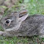 babycottontail
