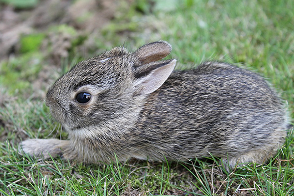 Orphaned Cottontail Care