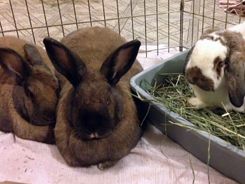 Karma, Petunia, & George (Sanctuary Rabbits)